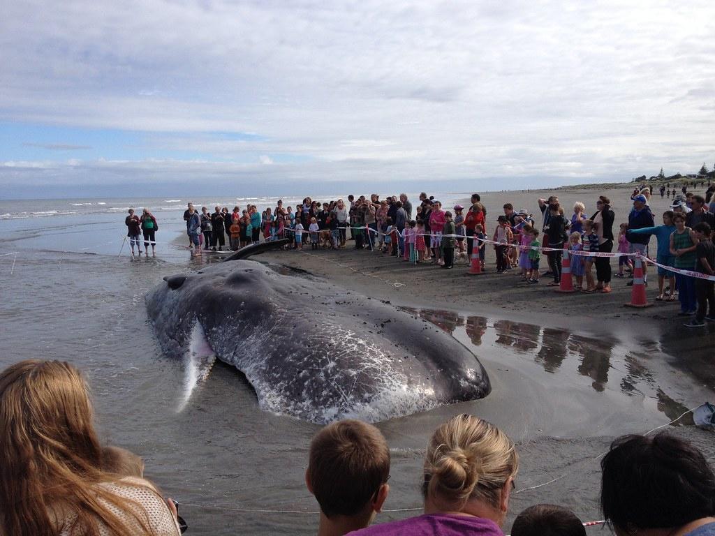 海岸に打ち上げられたクジラ